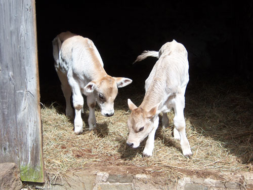 Baby oxen pair Bob and Dave