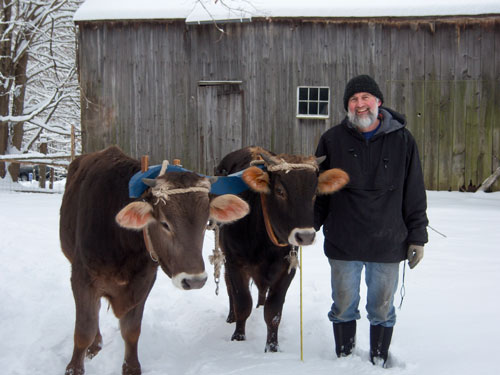 8 month old oxen pair Bob and Dave with handler
