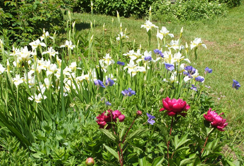 Flower garden with peonies and irises