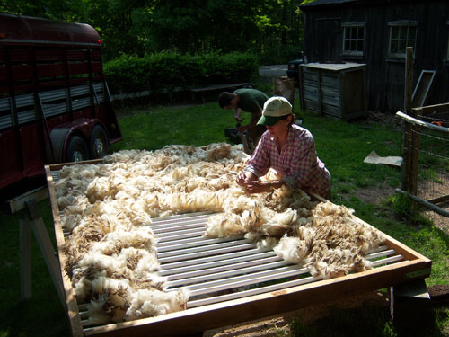Newly sheared fleece being sorted